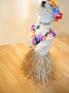 Niqqi baila el Hula en su nuevo disfraz de bailarina Hawaiana.