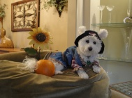 Niqqi sits at the top of the chair with a sunflower and a pumpkin waiting for the kids to come trick-or-treating.